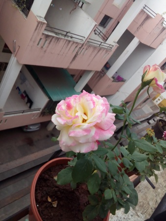 A Rose Plant with strong stem formation