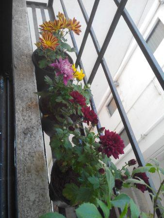 Chrysanthemum, Shevanti,Guldaudi