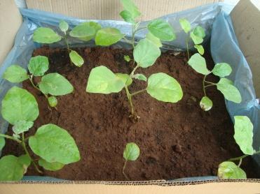 Young Eggplants