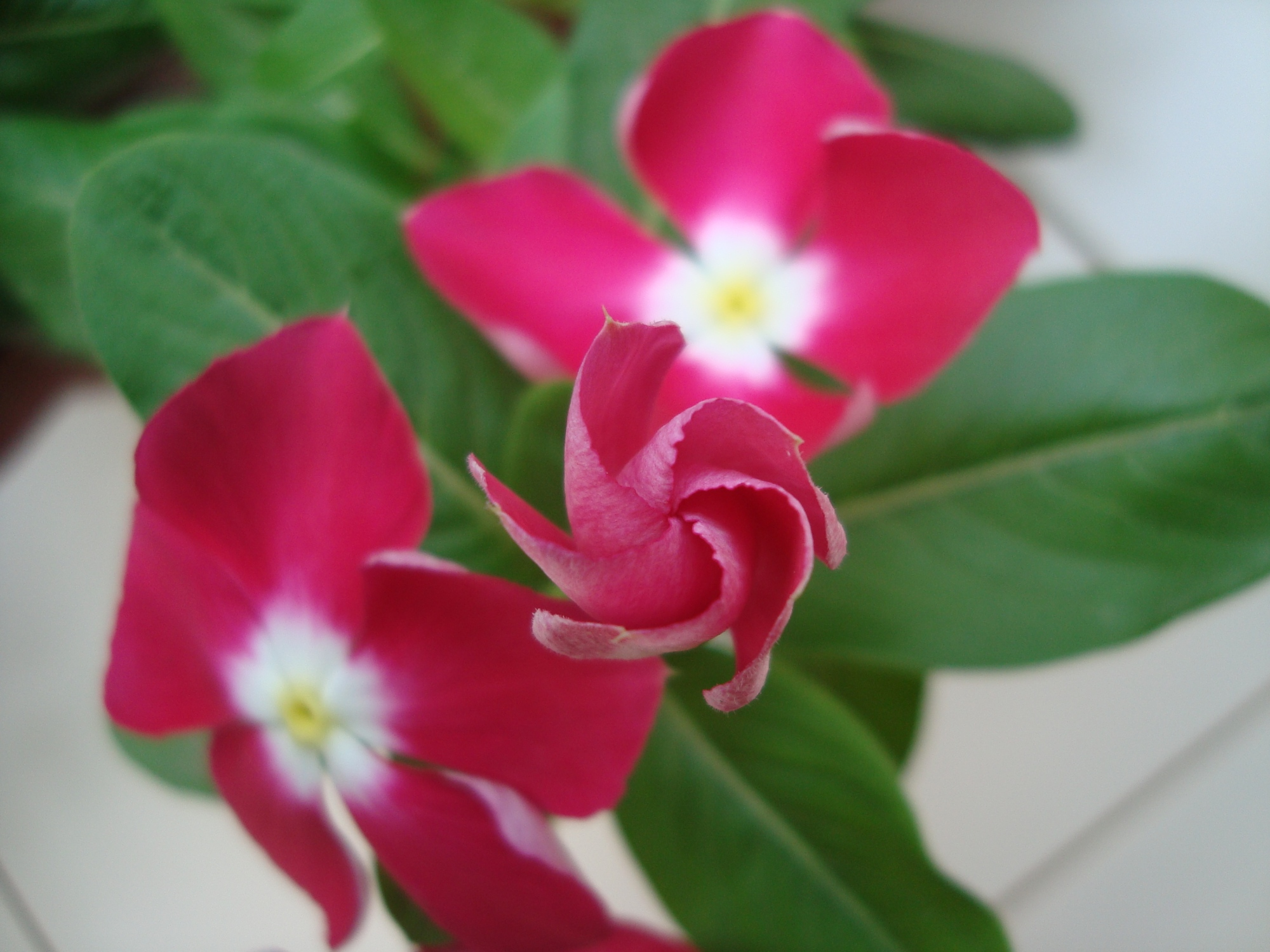 Flower Garden – Part XVI – Vinca – Reema\'s Garden