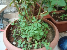 Fenugreek plant in a rose pot