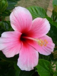 hibiscus_flowering_pink_