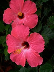 pink-hibiscus-flowers