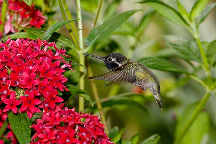 hummingbird pentas