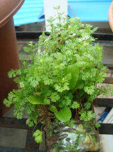 Coriander at reemasgarden