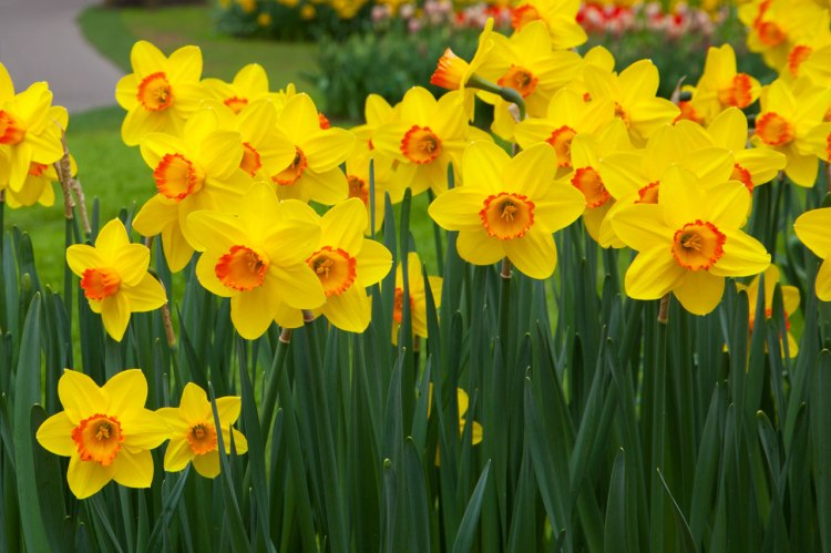 daffodil Nargis flower