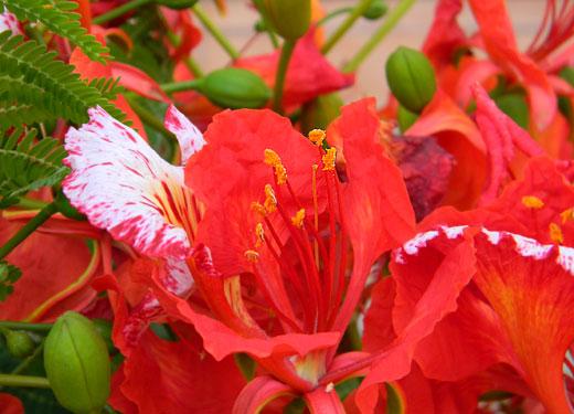delonix_regia_gulmohar_india_red_flowers