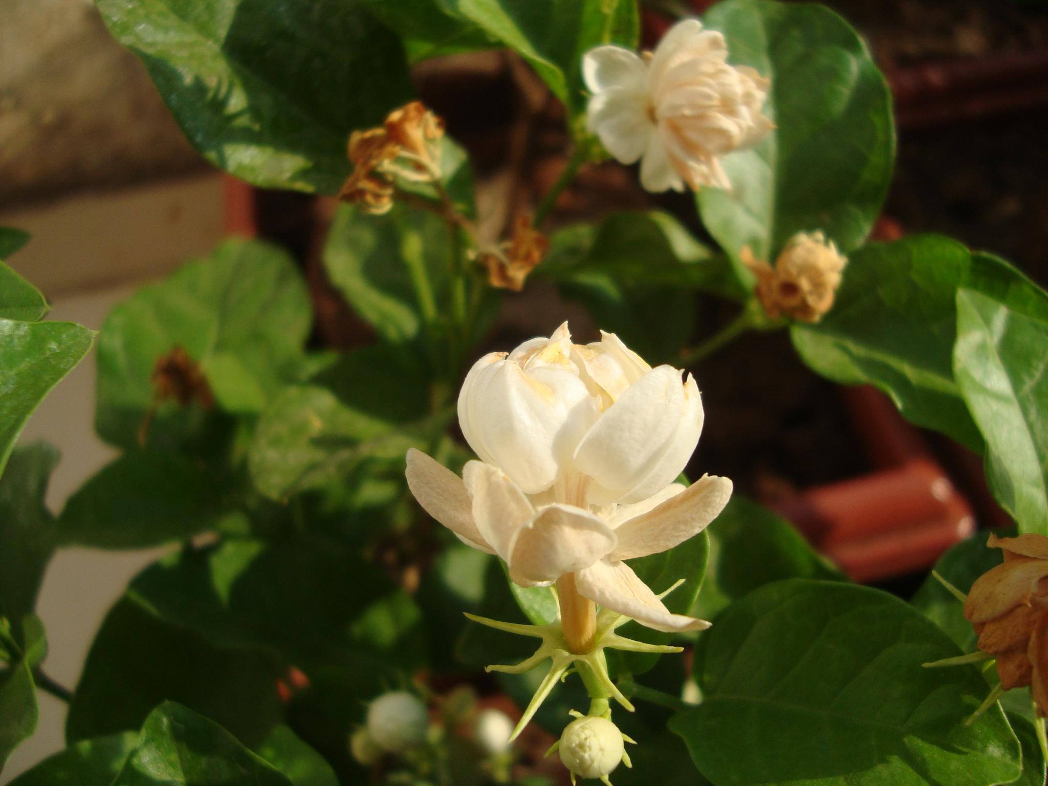 Mogra - Jasminum Sambac