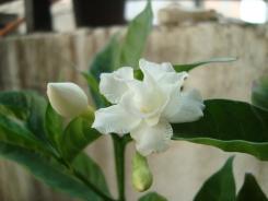 Tabernaemontana divaricata orcommonly called pinwheel flower, crape jasmine, East India rosebay. Also called as Tagar or chandni in Hindi.