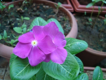 Vinca also called as periwinkle in English or Sadaphuli in Hindi at Reema's Garden