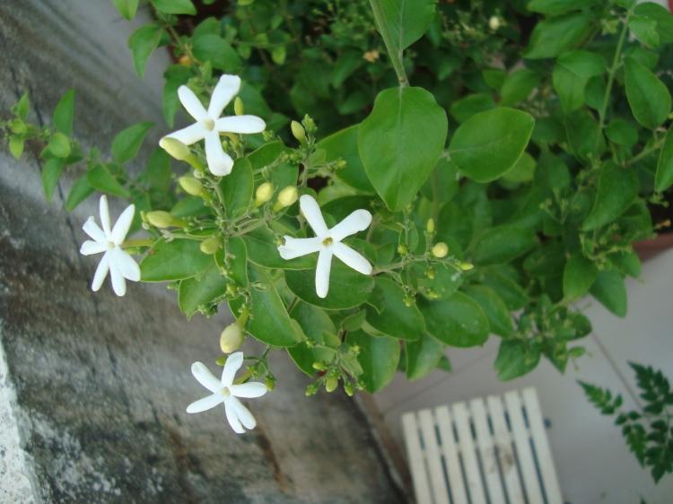 Jasminum auriculatum - Juhi  Flowers at Reema's garden
