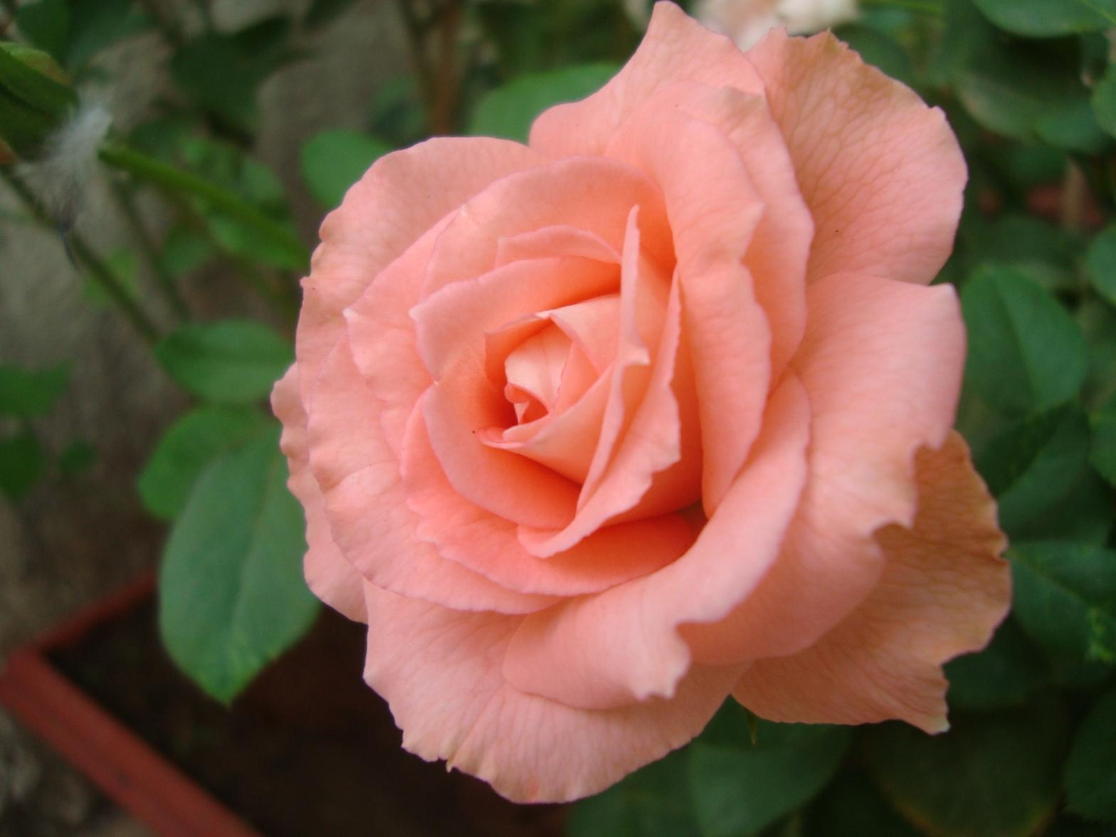Pink Rose - Reema's Garden