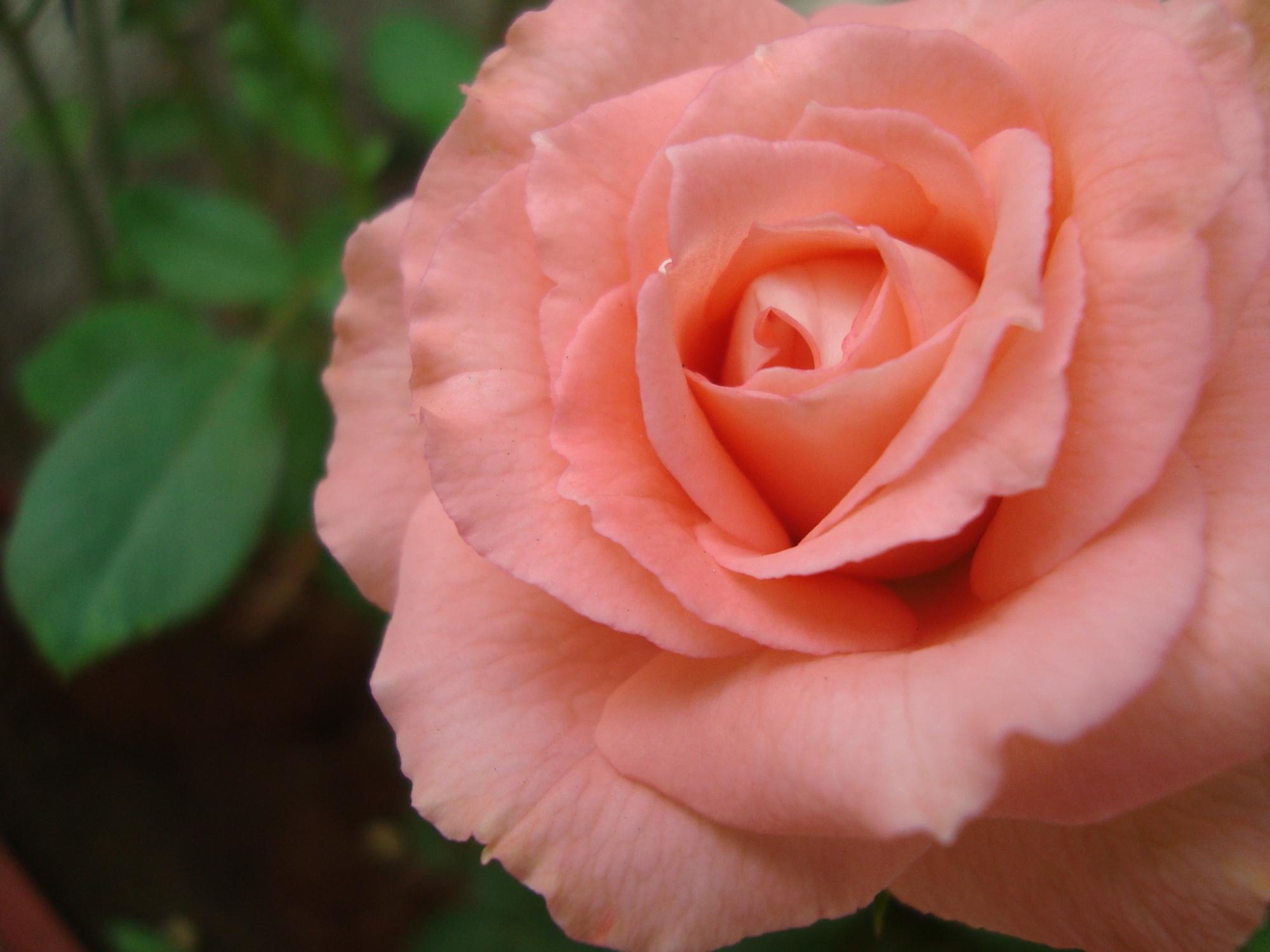 Pink Rose at Reema's Garden