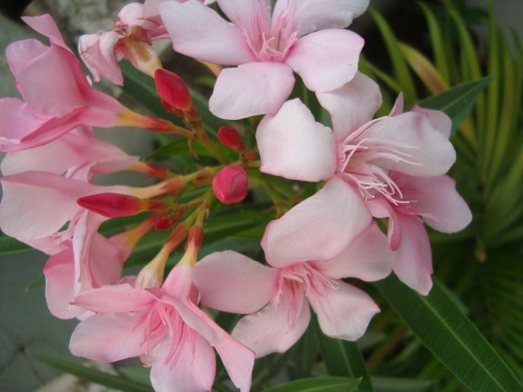 Pink Kaner Flowers at Reema's Garden