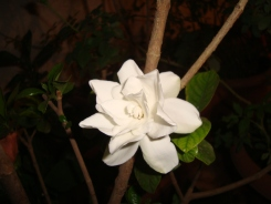 Gardenia Jasmine Flower at Reema's Garden shot during night time