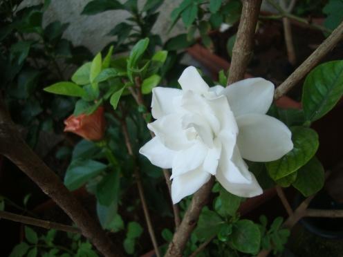 Gardenia Jasmine Flower at Reema's Garden.