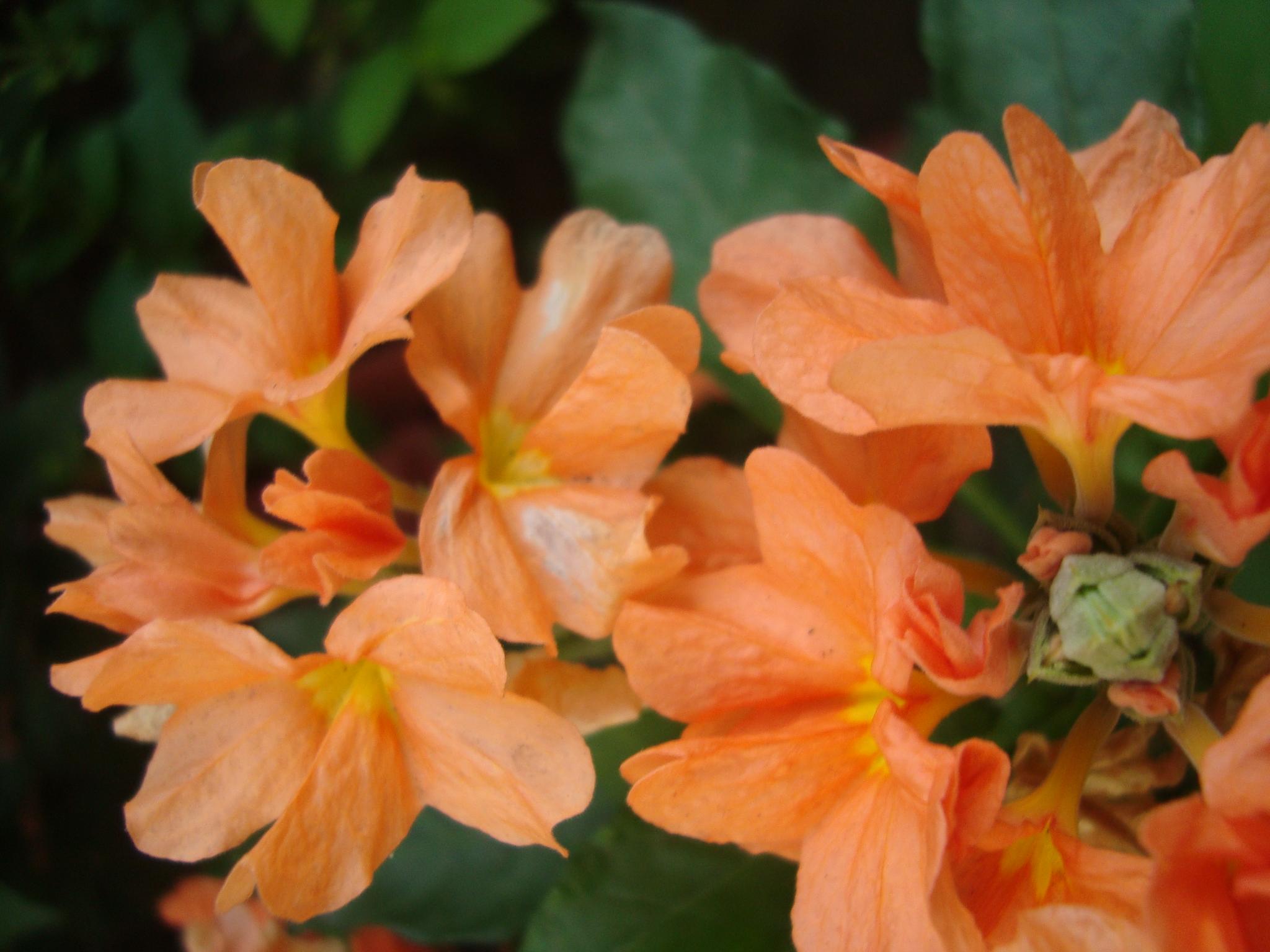Firecracker Aboli Flowers at Reema's Garden