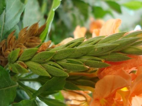 Firecracker Aboli Flower buds at Reema's Garden