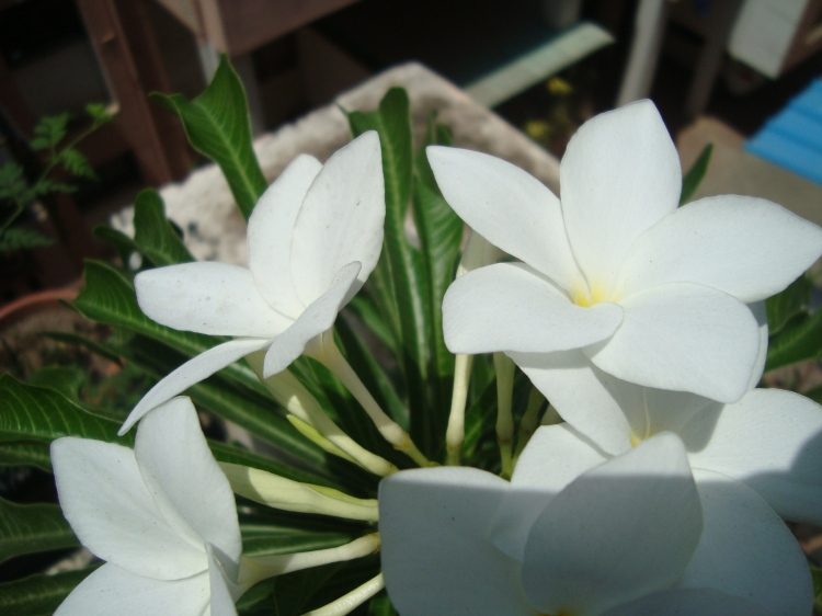 Bunch of Plumeria Champa Chapha Flowers white