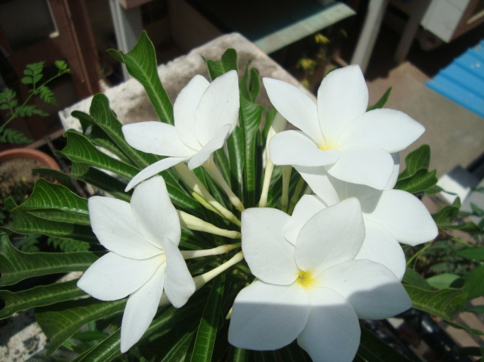 Plumeria flowers at Reema's Garden