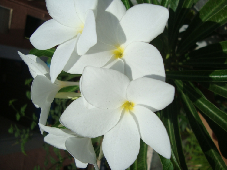 Plumeria Champa Chapha white Flowers