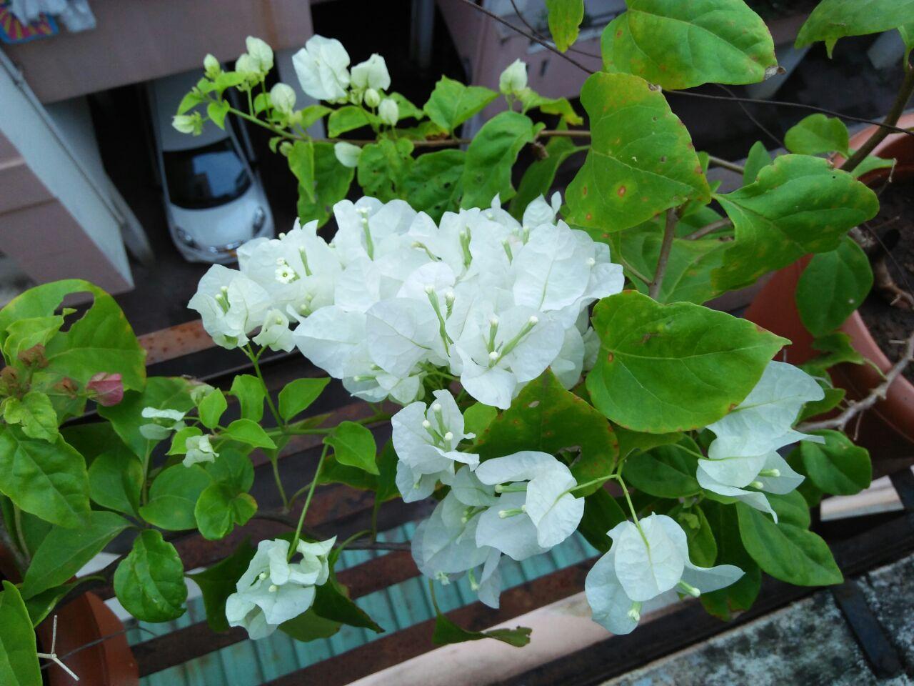Bougainvillea - white at reemasgarden