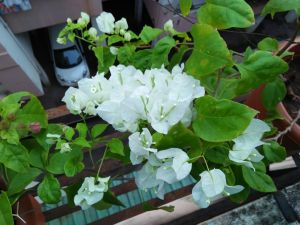 Bougainvillea - white at reemasgarden