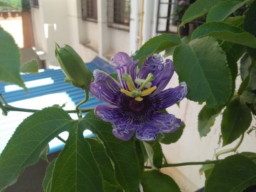 Passion Flower Krishna Kamal at Reema's Garden
