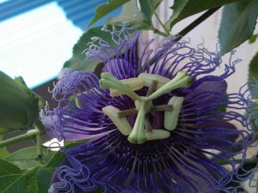 Passion Flower Krishna Kamal at Reema's Garden