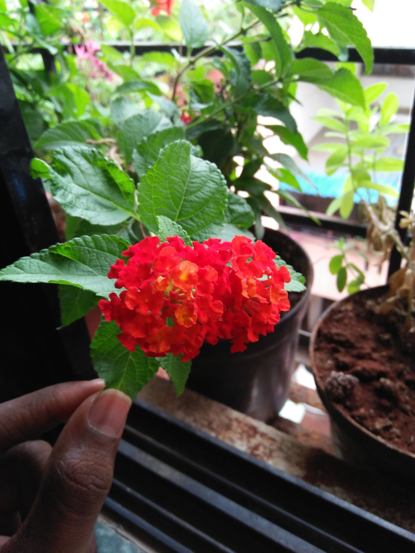 Orange Red Lantana at Reema's Garden