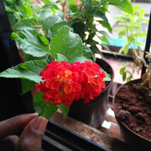 Orange Red Lantana at Reema's Garden