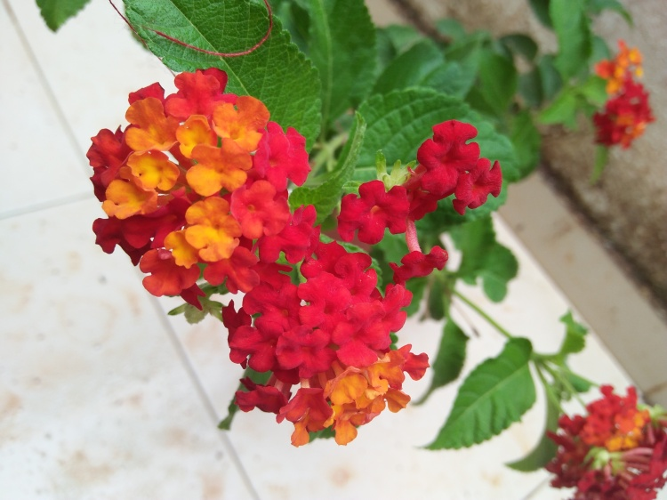 Bright Red Lantana Flowers
