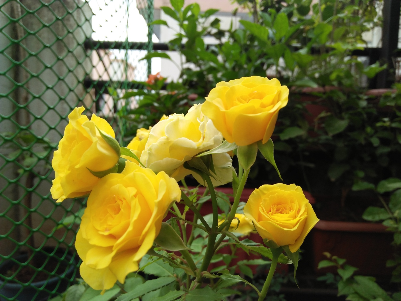 Bunch of yellow roses at Reema's Garden