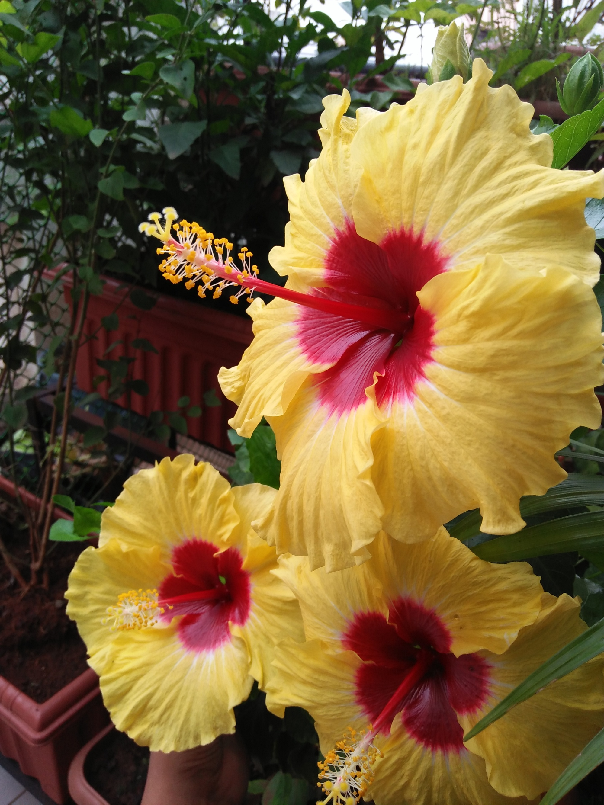 Yellow & Red Hibiscus Flowers