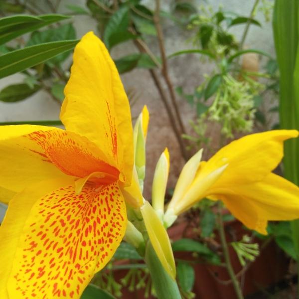 Yellow Canna Flower