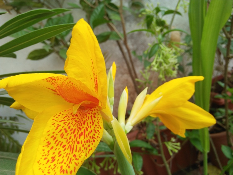 Bright Yellow and Red Canna Flowers at Reema's Garden