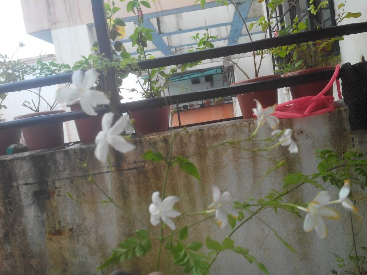 Jasminum grandiflorum - Chameli  Flowers at Reema's Garden