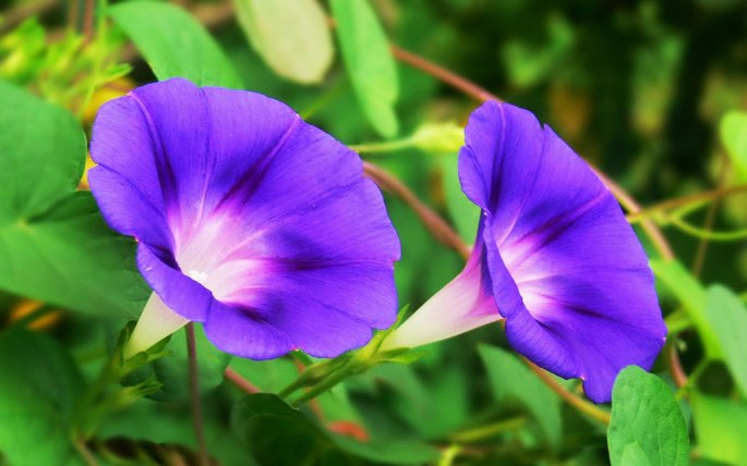 morning_glory