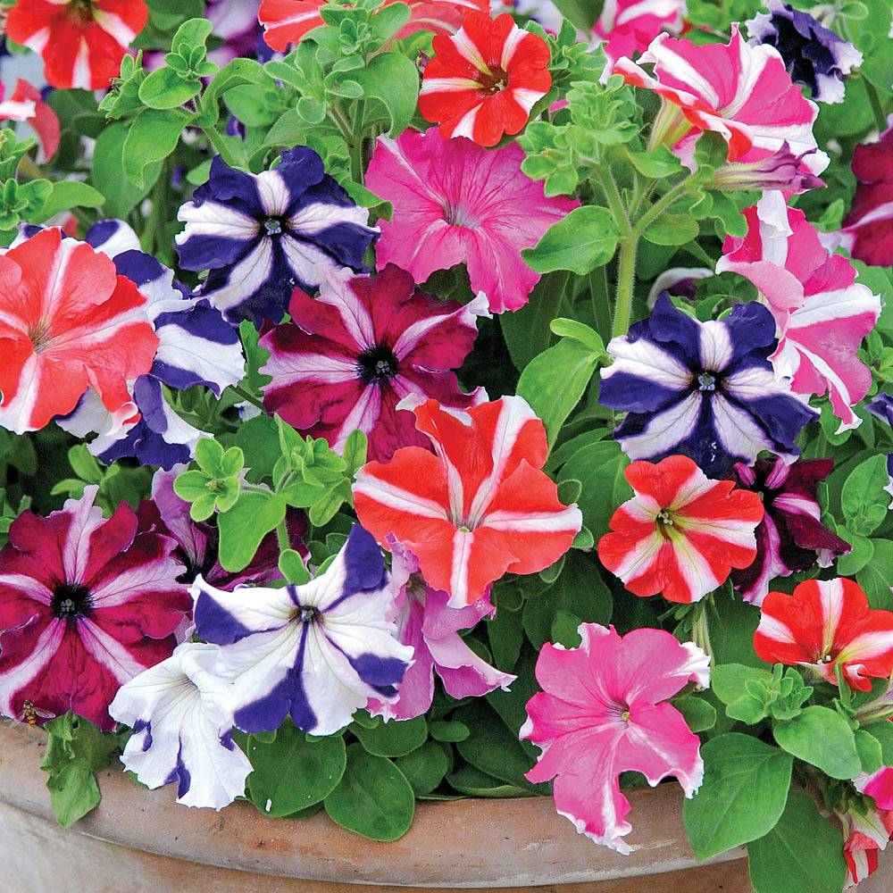 Striped & colorful Petunia Flowers