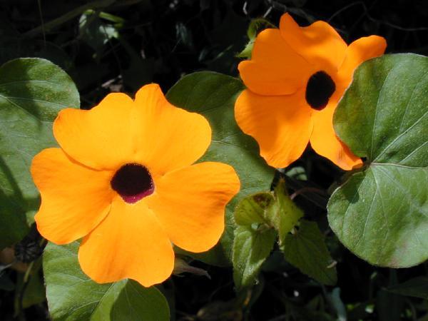 thunbergia yellow orange flowers