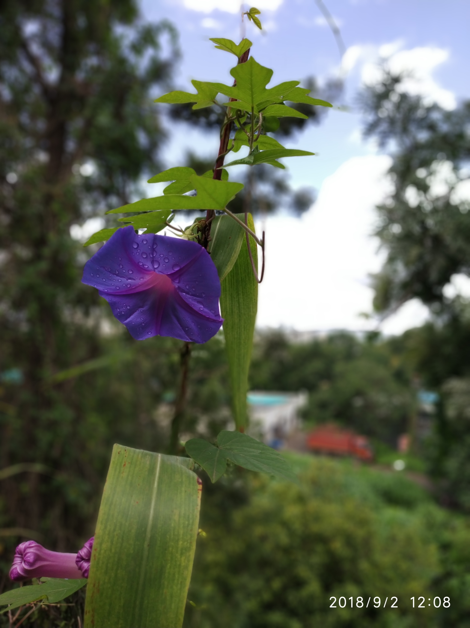 Morning Glory Plant at Reema's Garden - Things to know when you buy a plant.