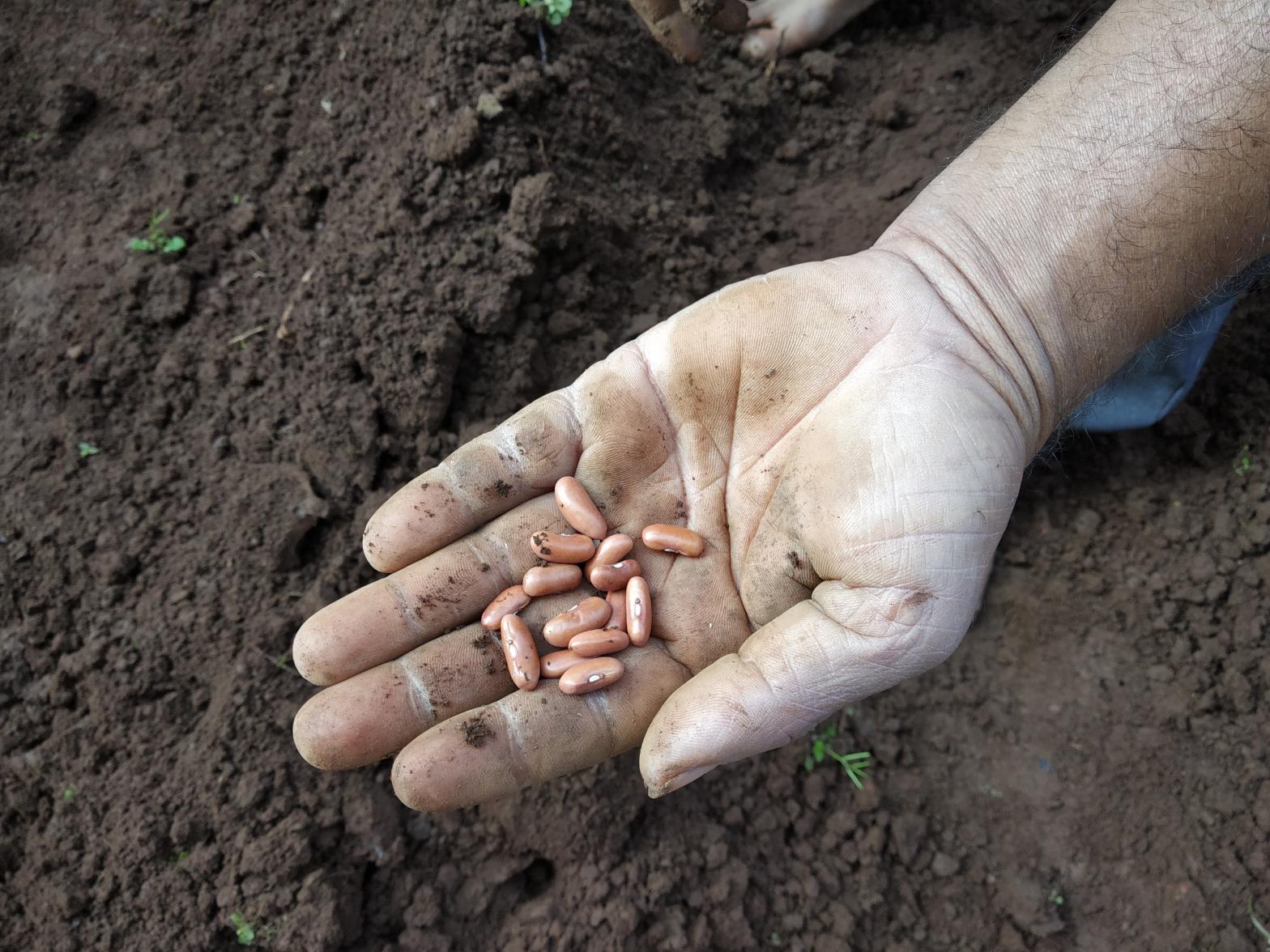 Seeds - Beans - Reema's Garden