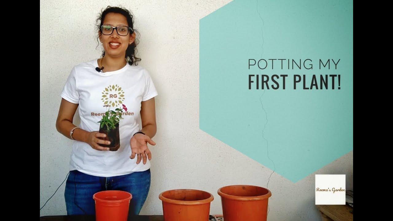 potting Vinca