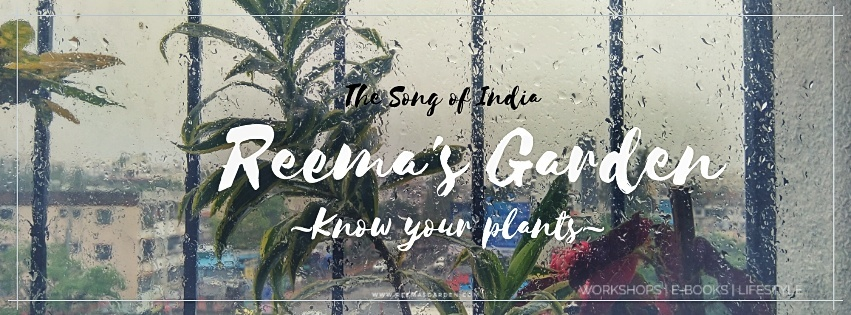 song of india plant at reema's garden