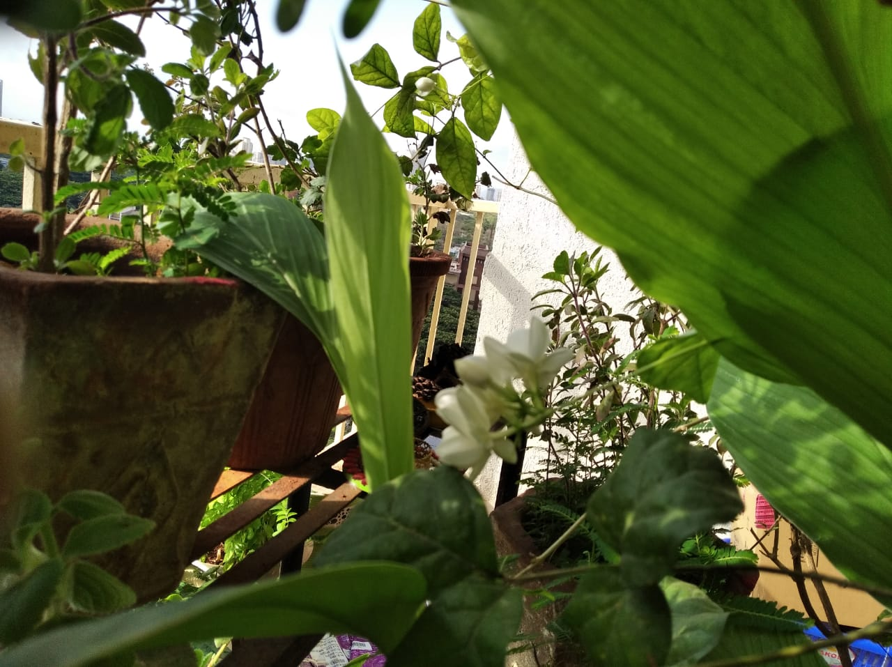 Mogra jasmine flower Plant at workshop participant's Garden