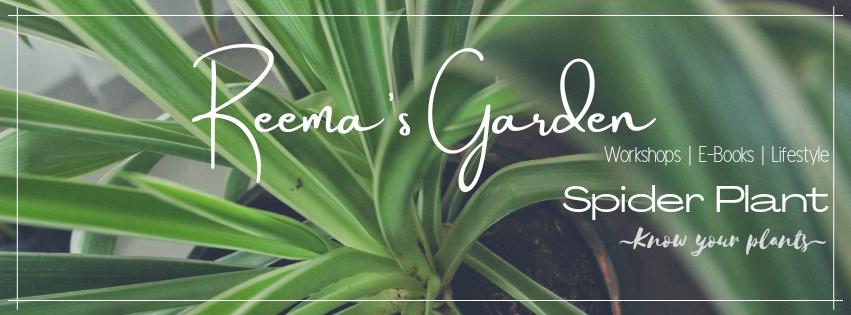 Spider Plant - Reema's Garden - Know your plants