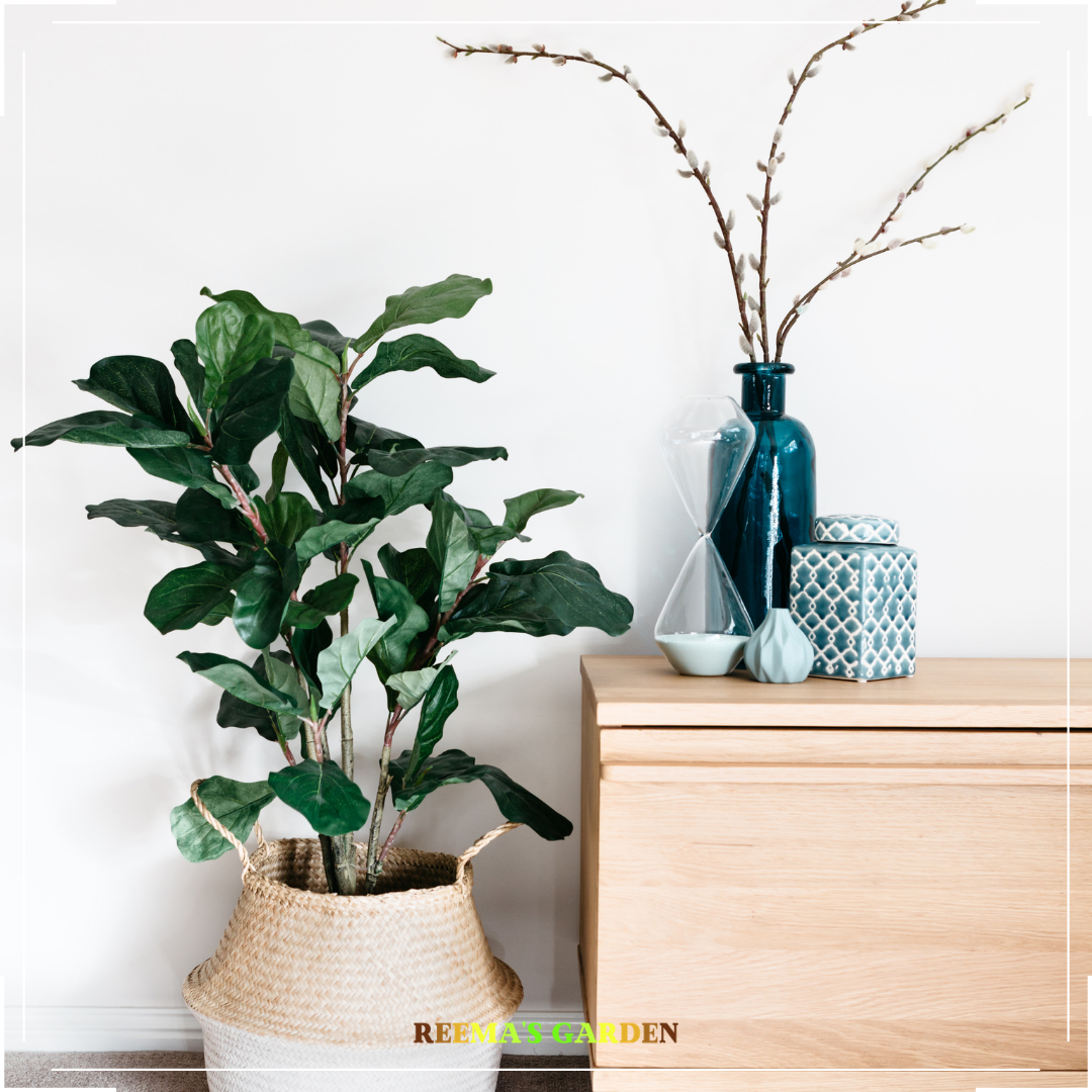 a beautiful image of fiddle leaf fig plant placed next to desk for decor purpose